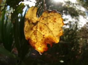 Muscadine Leaf
