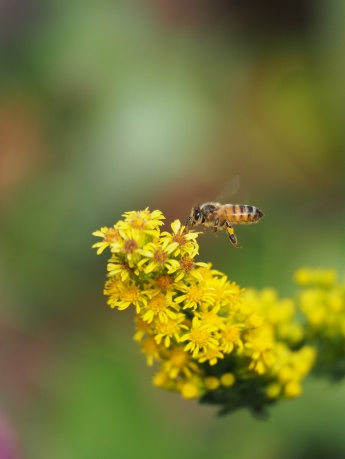 Honey Bee on Golden Rod